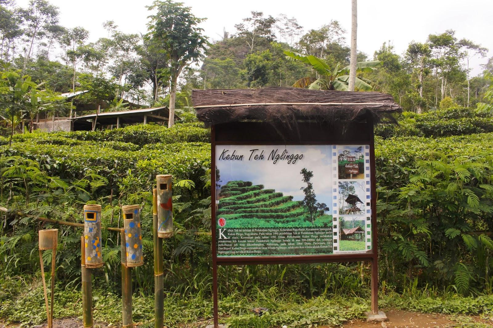 Wisata Kebun Teh Nglinggo Samigaluh Kulon Progo Yogyakarta Kota